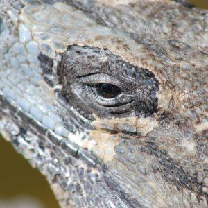 Jorge-Carlos-Alvarez-Iguana
